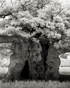 The Most Ancient and Magnificent Trees From Around the World | <em>Bowthorpe Oak Trunk</em>. Manthorpe, England, 2002. The legendary Bowthorpe Oak with its rugged bole, gnarled branches and a great spread of crown stands in a grassy meadow behind a stone farmhouse in Bourne, Lincolnshire.   | Credit: Beth Moon | From Wired.com