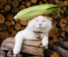corn on the cat