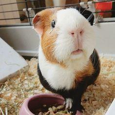 So adorable! Happy Animals, Cute Animals, Guniea Pig, Cute Piggies, Pigs, 1, Beautiful, Angels, Instagram
