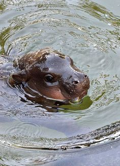 Baby Hippo swimming, from Zooborns. Cute Hippo, Cute Baby Animals, Funny Animals, Jungle Animals, Cute Creatures, Beautiful Creatures, Animals Beautiful, Live Animals, Animals And Pets