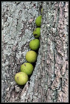 These cover my lawn - usually I leave 'em for the squirrels. How to Harvest Black Walnuts in 9 Steps Black Walnut Tree, Living Off The Land, Edible Plants, Edible Garden, Wild Edibles, Fruit Trees, Fruit Bushes, Thing 1, Medicinal Plants