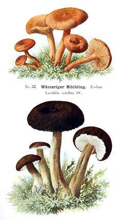 Watery Milkcap (Lactarius serifluus), Lactarius lignyotus.   Albin Schmalfuss, from Führer für Pilzfreunde (The mushroom lover's guidebook) vol. 2, by Edmund Michael, Zwickau, 1901.