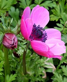 Anemone Giant Rosea (Single) - Anemone Giants - Indoor Bulbs - Flower Bulb Index