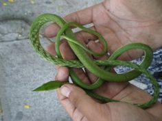 So You Want A Snake For A Pet, Choosing A Pet Snake. Vine Snake in Photo.