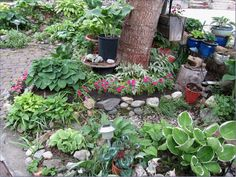 The Walnut Tree on the right side of the patio, supplys the needed shade for the hostas....