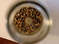 Proyecto, no a la venta (aún).  Especie:  Echinopsis adolfofriedrichii