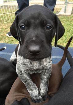 Look into that adorable cute Labrador Retriever puppy's eyes!