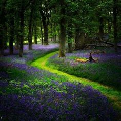 Bluebell path, Perthshire Scotland
