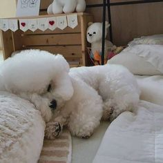 Cute Puppies, Cute Dogs, Dogs And Puppies, Doggies, Animals And Pets, Baby Animals, Cute Animals, Bichon Dog, Baby Dogs