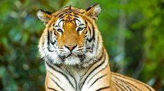 Le chemin est long pour des résultats durables, et nous devons tous unir nos forces pour sauver le tigre de l'extinction. C'est aujourd'hui à vous de jouer. Chaque effort compte pour la survie de l'espèce. Soutenez-nous.  #Tigres  © Fabien Lemaire