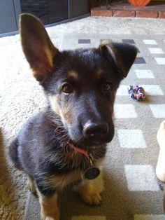 Coco my german shepherd