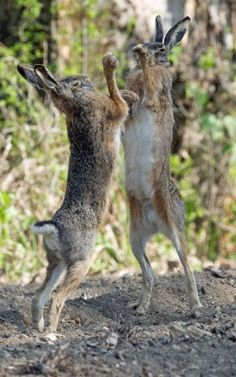 25 March 2016 - Two hares square up to each other as they fight for the attention of females in Austria Rare Animals, Animals And Pets, Funny Animals, Strange Animals, Woodland Creatures, Woodland Animals, Yorky, Jack Rabbit, British Wildlife