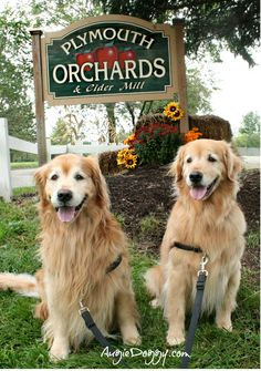 Golden retrievers Augie and Ti at the apple orchard!