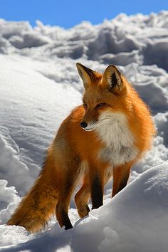 In winter, red foxes (Vulpes vulpes) meet to mate. The vixen (female) typically gives birth to a litter of 2 to 12 pups. At birth, red foxes are actually brown or gray. A new red coat usually grows in by the end of the first month, but some red foxes are golden, reddish-brown, silver, or even black. Both parents care for their young through the summer before they are able to strike out on their own in the fall.