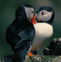 This week's cute animal is the puffin, which you'd probably recognise from the logo of Puffin Books. These birds live by the sea and dive...