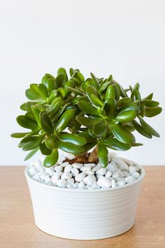 Best House Plants for the Climate You Live In | Rocket Homes#climate #homes #house #live #plants #rocket Fake Plants Decor, House Plants Decor, Plant Decor, Feng Shui Plants, Common House Plants, Chinese Money Plant, Orchid Pot, Crassula Ovata, Jade Plants