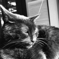 Bones 😍🌞#mygreatcat #my_loving_pet #cat #gatto #catoftheday #catsofinstagram #catstagram #gatti #instacat #instacat_meows #bestmeow #topcatphoto #miao #catlover #gatto #catoftheday #katze #gato #chat #猫  #neko #猫好き #Exellent_Cats #子猫 #プッシーキャット #ニャー #甘い #愛猫