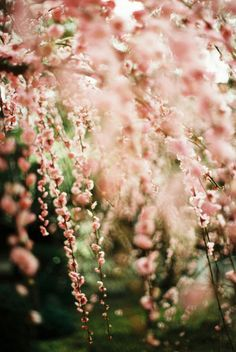 Gorgeous weeping cherry blossom tree