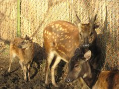 Visayan Spotted Deer from the Phillipines