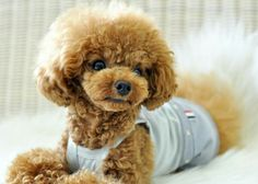 Adorable Poodle... such a sweet face <3