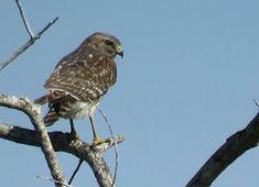 Bird Photos, Birding Sites, Bird Information: JUVENILE RED-SHOULDERED HAWK, MARKHAM PARK, SUNRIS...