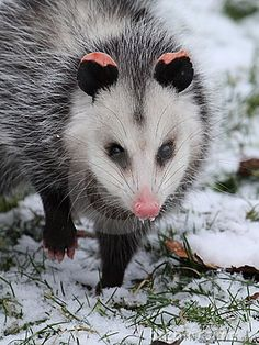 The Virginia Opossum is the only marsupial native to North America (except Mexico).  They rarely spread any disease to humans and may even reduce the incidence of Lyme disease.