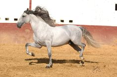 PRE (Andalusian). Throughout history, the Iberian breeds have been influenced by many different peoples and cultures who occupied Spain, including the Celts, the Carthaginians, the Romans, various Germanic tribes and the Moors. In the south, the influence of Barb horses in the existing breeds was stronger, especially for the Muslim conquest. A special type of horses appeared in the south. So special, that in 13th century, a law banned to use southern mares to produce mules, only horses.