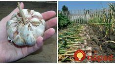 Držte sa tohoto a nebude stíhať zberať: Toto by mal vedieť každý, kto sa chystá pestovať domáci cesnak!