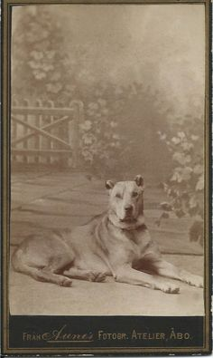 c.1880 cdv of majestic Great Dane lying in photographer's studio with beautifully painted backdrop. Photo by Fran Aune's Fotogr, Atelier, Abo. From bendale collection