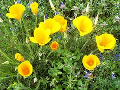 """""""Arise, my beloved, my beautiful one, and come!  11 """"For see, the winter is past, the rains are over and gone.  12 The flowers appear on the earth, the time of pruning the vines has come, and the song of the dove is heard in our land...California State Flower, the Golden Poppy. Wilbur Hot Springs Nature Preserve. photo by Meg Solaegui wilburhotsprings.com"""