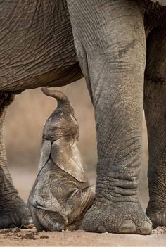 Manners Maketh the Man Elephants Photos, Elephant Pictures, Cute Animal Pictures, Happy Elephant, Elephant Love, Elephant Art, All About Elephants, Save The Elephants, Beautiful Creatures