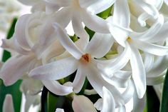 Hyacinthus is a small genus of bulbous flowering plants in the family Asparagaceae, subfamily Scilloideae. Hyacinth Flowers, House Plants, Spring Blooming Flowers, Flowers, Floral, Blooming Flowers, Herb Garden, Flower Close Up, Fragrant Flowers