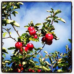 Apple picking...