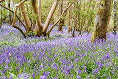 Photo of the week: surreal bluebells. I still find it a surreal experience to be in the midst of a wood where the trees and shrubs look as one would expect but below them, what should be green is purple for as far as the eye can see.  http://www.carlottaluke.com/landscapes/13792/ #photooftheweek #fridayfeeling #purple You can subscribe to my Photo of the Week to receive an original and entertaining photograph directly to your inbox every week: http://carlottaluke.us9.list-manage.com/subscri