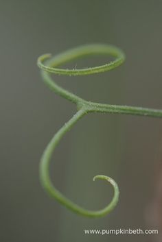 This Lathyrus odoratus tendril has formed the shape of an 'E'. Pictured during my 2016 Sweet Pea Trial.