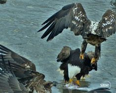 A juvenile eagle attacks an adult bald eagle who was not paying attention for a second. This happened so fast and looks brutal. The adult was fine afterward. This was in Dutch Harbor, Alaska. eagle owls of paradise birds Eagle Images, Eagle Pictures, Nature Animals, Animals And Pets, Prey Animals, Baby Bald Eagle, Bald Eagle Feather, Eagle Bird, Beautiful Birds