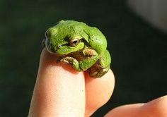 petites-grenouilles-1