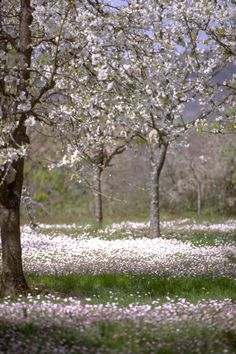 Prune d'Ente orchard in spring