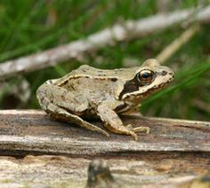Rana temporaria - David Nicholls - Bardon Hill - 25 April 2008