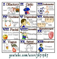 Easily remember all the functions of the cranial nerves. From frowning to smiling, the cranial nerves help you move the muscles of your face, to even special. Nursing School Tips, Nursing Tips, Nursing Notes, Nursing Schools, Ob Nursing, 12 Cranial Nerves Mnemonic, Cranial Nerve 7, Cranial Nerves Function, Cranial Nerves Anatomy
