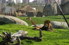 Bioparc Valencia: The Immersive Zoo http://www.wonderfuloflife.com/2015/12/02/bioparc-valencia-the-immersive-zoo/