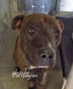 ★❥★SAFE★❥★ A4824480 I am an extremely friendly 3 yr old male br brindle/white pit bull mix. I came to the shelter as a stray on April 29. available 5/3/15 Baldwin Park shelter  https://www.facebook.com/photo.php?fbid=963089543702883&set=a.705235432821630&type=3&theater