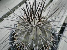 Copiapoa dealbata v charizalensis