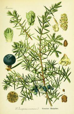 Juniperus communis---Enebro común---juniper : de este arbusto sale un decicioso aceite esencial que transporta al bosque, lo usamos en gel y en crema hidratante facial.