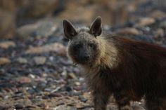 Amazing sightings of brown hyaena on Namibia's Skeleton Coast around the Hoanib Brown Bear, Wilderness, Skeleton, Safari, Coast, Explore, Amazing, Animals, Into The Wild