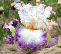 TB Iris germanica 'Cerchi Sull'Acqua' (Bianco, 2008)