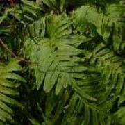 Polypodium vulgare. Suitable for Living Wall Shade Plant. Click image to get care advice. Other names: Common polypody fern    Genus: Polypodium    Species: P. vulgare - P. vulgare is a fern forming alternating, triangular-shaped fronds divided all the way back to the central stem.