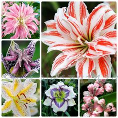 lily seeds, cheap perfume lily seeds, 20 colors Rare Lily Flower Garden Plant - Mixing different varieties 100pcs #>=#>=#>=#>=#> Click on the pin to check out discount price, color, size, shipping, etc. Save and like it!