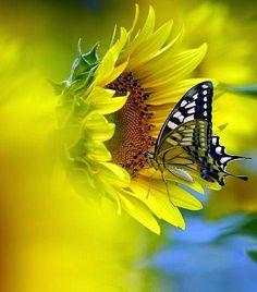 Sarı -Kelebek