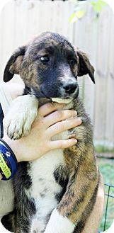 Yardley, PA - Afghan Hound/Shepherd (Unknown Type) Mix. Meet Devonna~B, a puppy for adoption. http://www.adoptapet.com/pet/13018381-yardley-pennsylvania-afghan-hound-mix